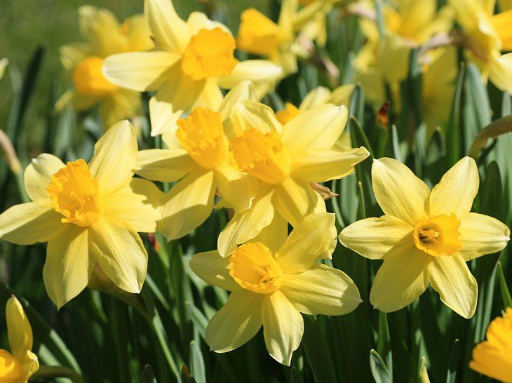 Frühlingsblume Narzisse