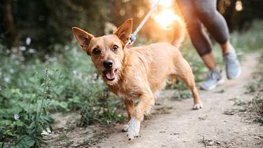 Ein Hund wird an einer Leine geführt. - Foto: RyanJLane / iStock
