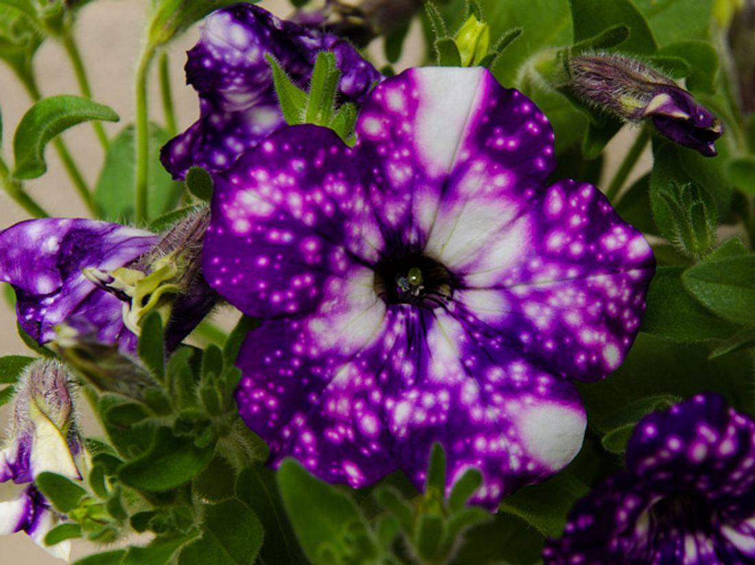 Petunie Night Sky & Co.: Die außergewöhnlichsten Blüten