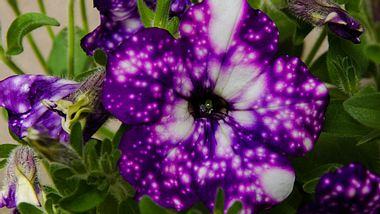 Petunie Night Sky & Co.: Die außergewöhnlichsten Blüten - Foto: Buffy1982 / iStock