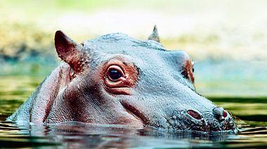 Symbolbild. Fotos von Nilpferd Fiona finden Sie unten im Artikel. - Foto: chuvipro / iStock
