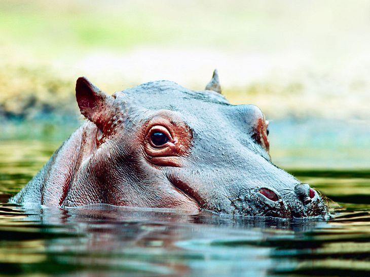 Symbolbild. Fotos von Nilpferd Fiona finden Sie unten im Artikel.