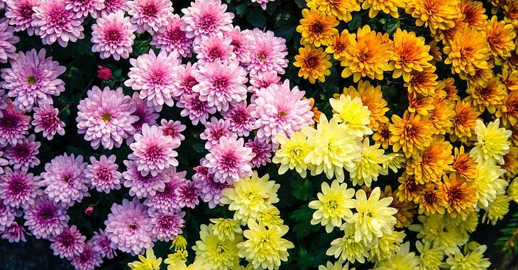 Die Geburtsblume für November ist Chrysantheme.