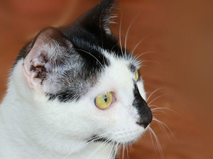 Die richtige Behandlung, wenn die Katze unter Ohrmilben leidet.