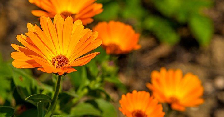 Oktober ist die Geburtsblume Ringelblume.