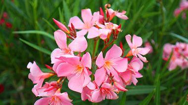 Oleander richtig pflegen: So klappts mit der mediterranen Pflanze