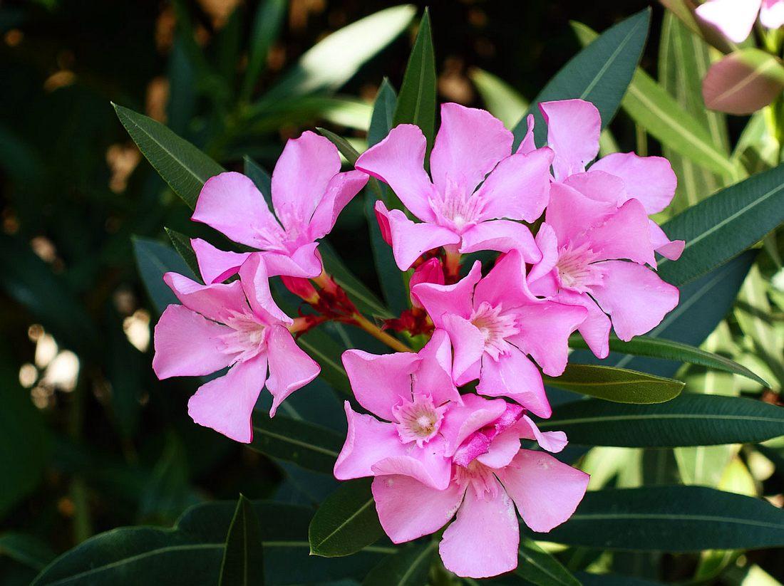 Erfahren Sie hier, wie Sie Ihren Oleander überwintern können.