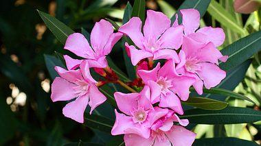 Erfahren Sie hier, wie Sie Ihren Oleander überwintern können. - Foto: stokpro / iStock
