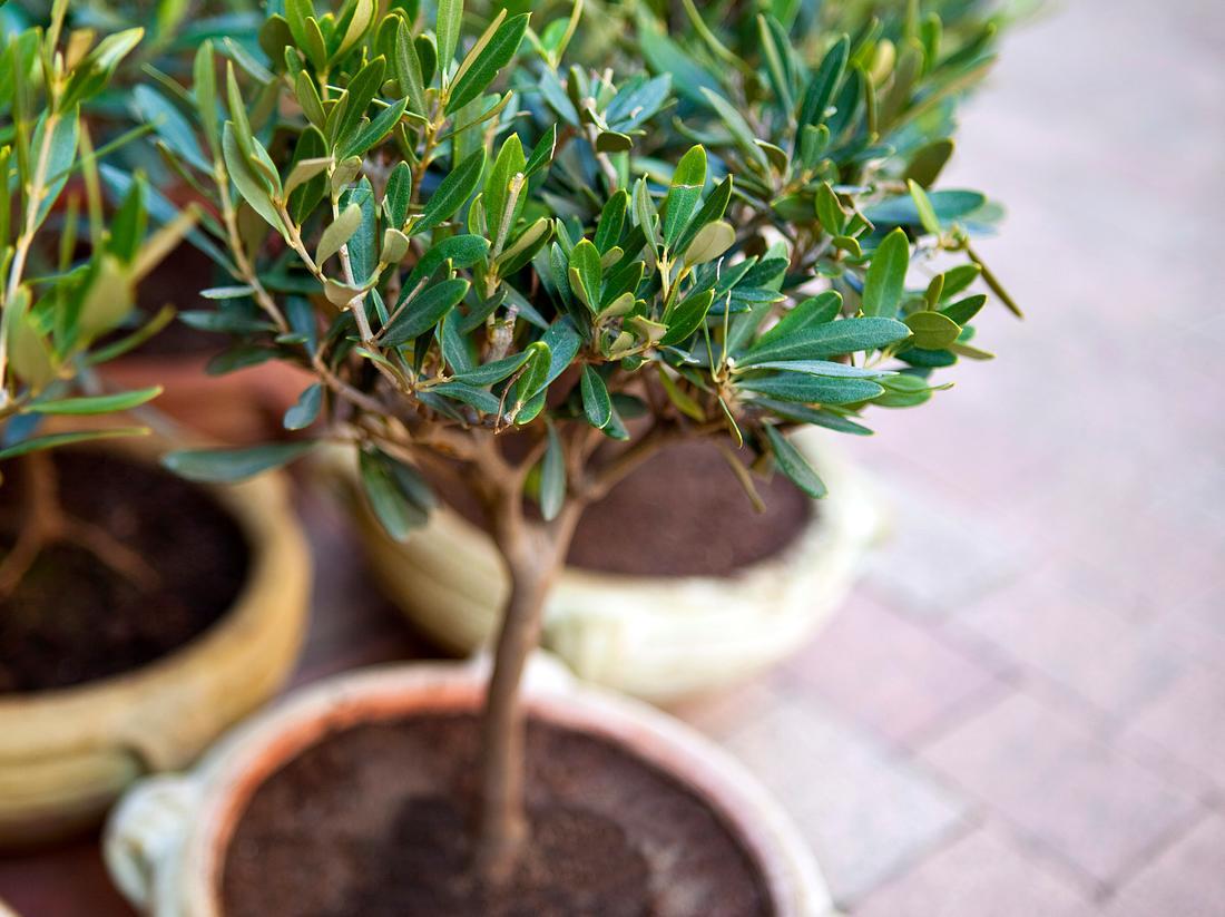 Olivenbaum richtig überwintern.