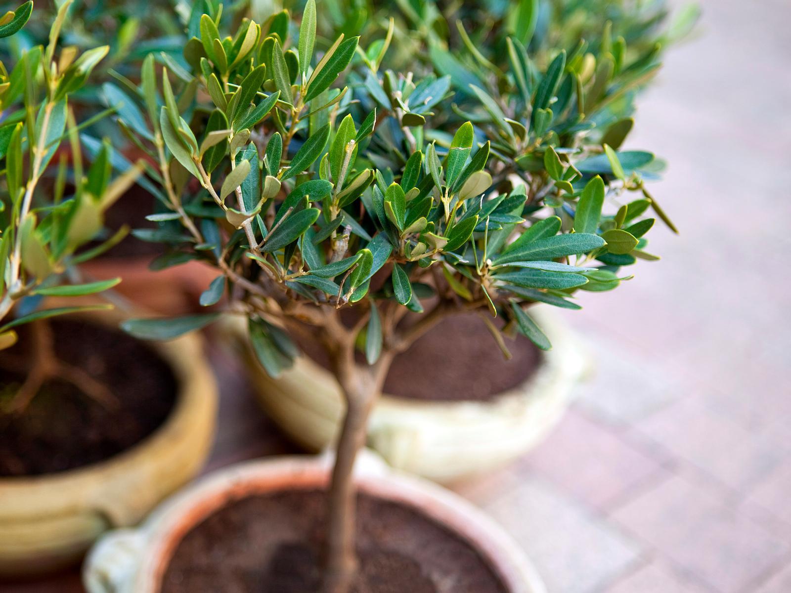 Olivenbaum überwintern: 10 Tipps zur richtigen Pflege