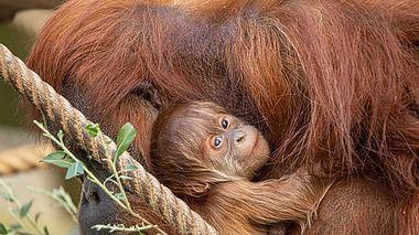 Das Orang-Utan-Baby im Tierpark Hagenbeck in Hamburg,. - Foto: Tierpark Hagenbeck