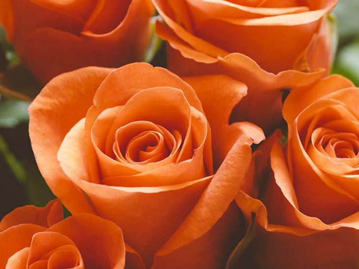 die bedeutung von orangefarbenen rosen welche rosenfarbe. Black Bedroom Furniture Sets. Home Design Ideas