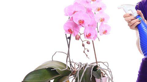 Orchideen düngen - Foto: MichalLudwiczak / iStock