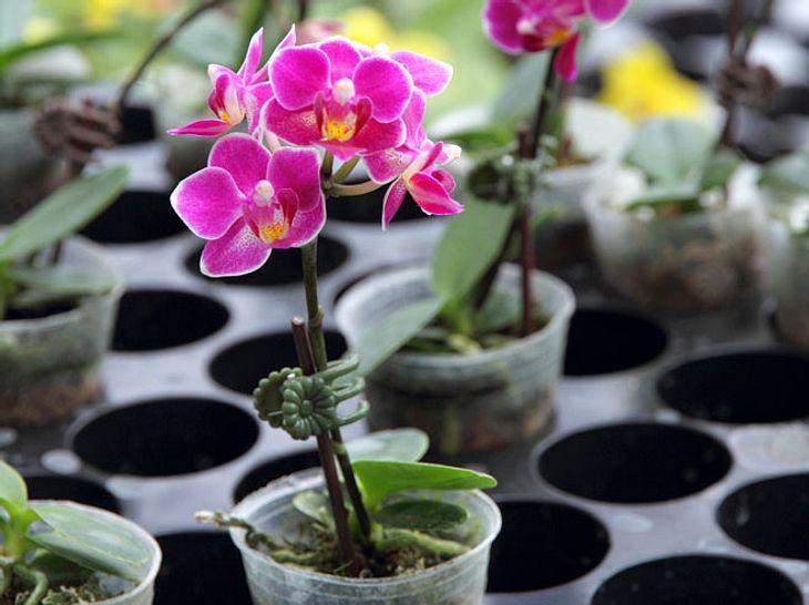 Worauf muss man beim Kaufen von Orchideen achten?