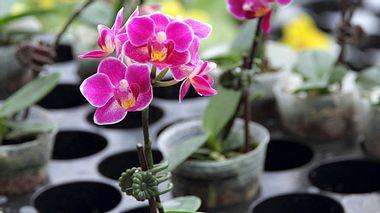 Worauf muss man beim Kaufen von Orchideen achten? - Foto: Videowok_art / iStock