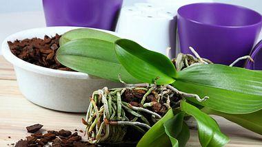 Orchideen richtig umtopfen: Tipps und Tricks, damit die Pflanzen lang leben