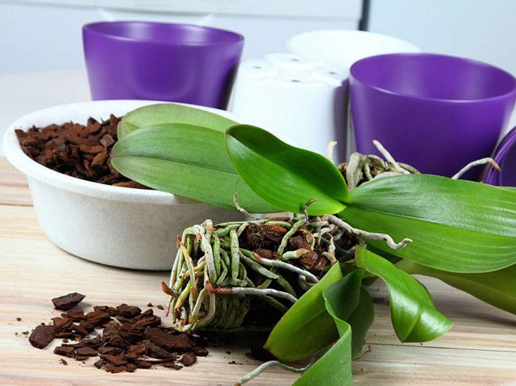 Orchideen Umtopfen Tipps Und Tricks Damit Die Pflanzen Lang Leben