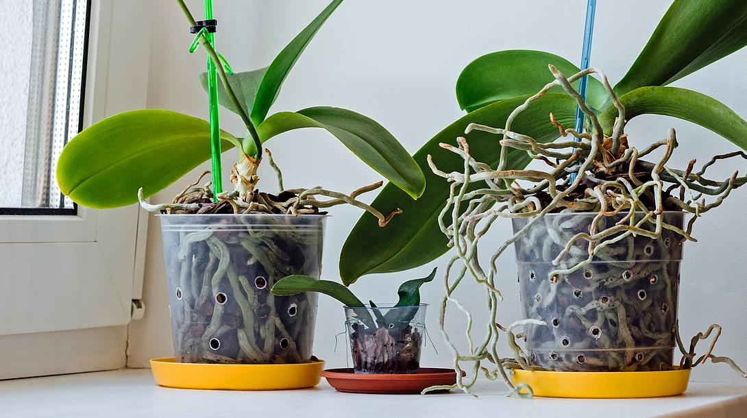 Orchideen vermehren durch Teilen oder Kindel-Ableger