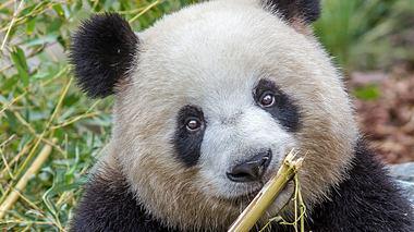 Panda-Dame bringt Zwillinge zur Welt