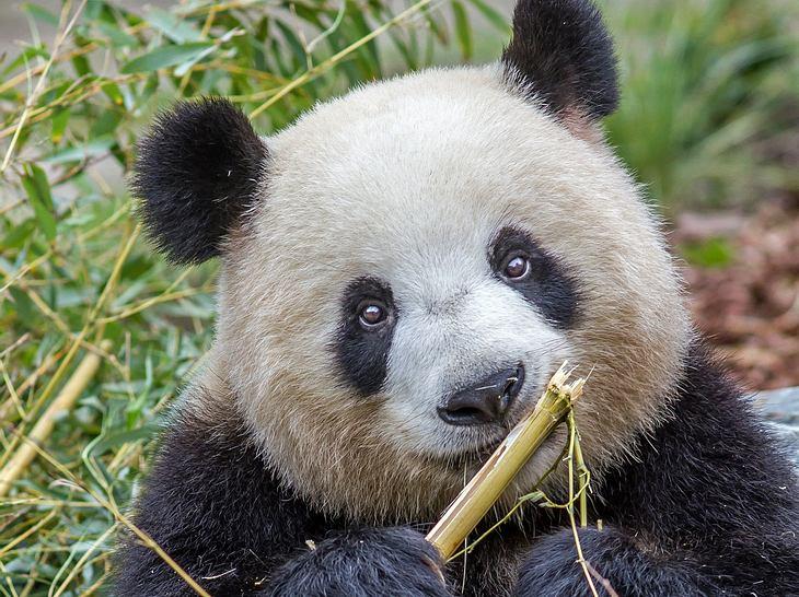 Pandabärin Meng Meng ist im Zoo Berlin Mutter von Zwillingen geworden.