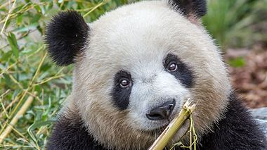 Panda-Dame Meng Meng ist stolze Mutter der Panda-Zwillinge im Zoo Berlin. - Foto: Zoo Berlin