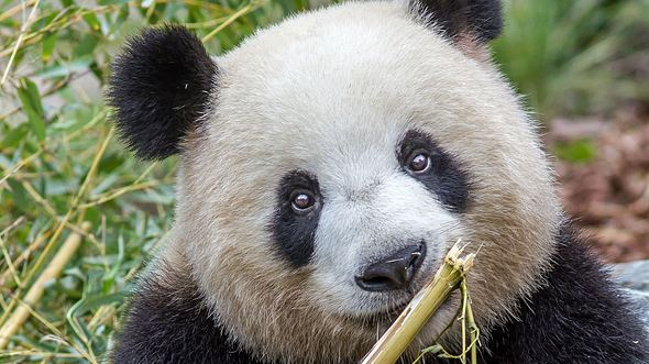 So groß sind die Pandas