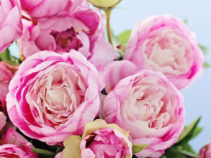 Pfingstrosen: Tipps zum selber pflanzen oder kaufen.