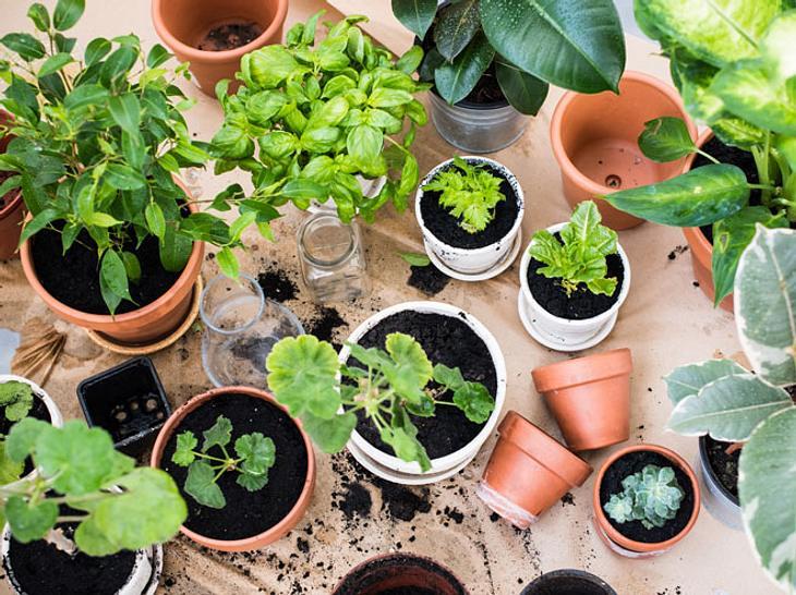 Zu Hause Pflanzen selbst ziehen