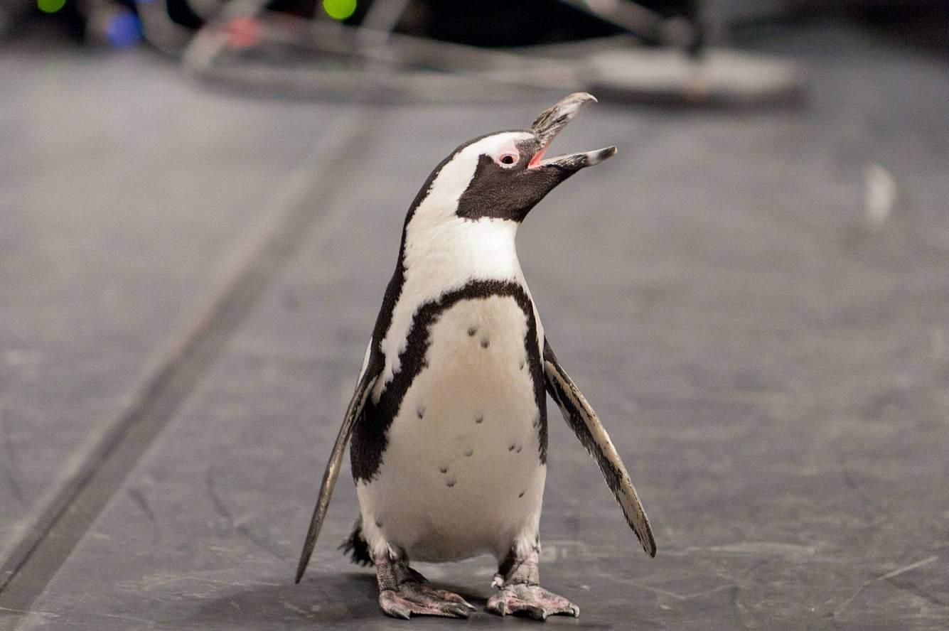 Pinguin-Dame Sandy.