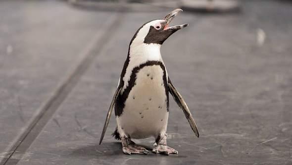 Pinguin-Dame Sandy. - Foto: IMAGO / Rüdiger Wölk