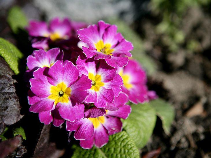 Frühlingsblume Primeln