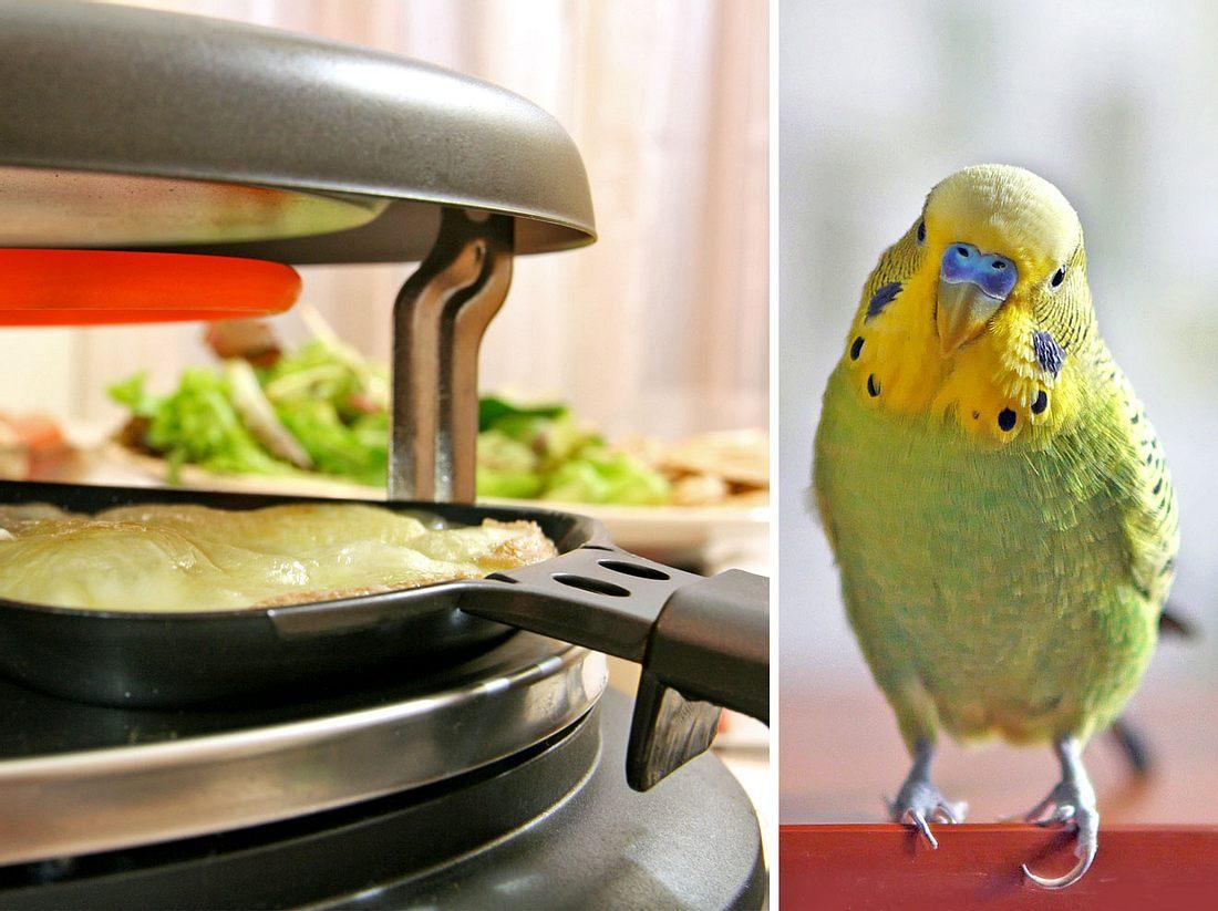 Für kleine Vögel wie Wellensittiche birgt Raclette eine große Gefahr.