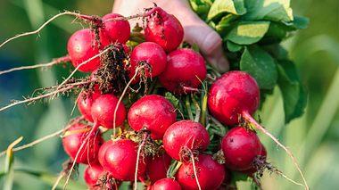 Radieschen selber anpflanzen, pflegen und ernten