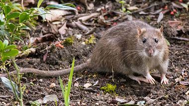 Ratte im Garten - Foto: Ian_Redding / iStock