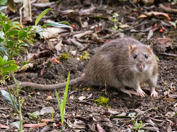 Prächtig Ratten vertreiben: So werden Sie die lästigen Schädlinge los #MH_59