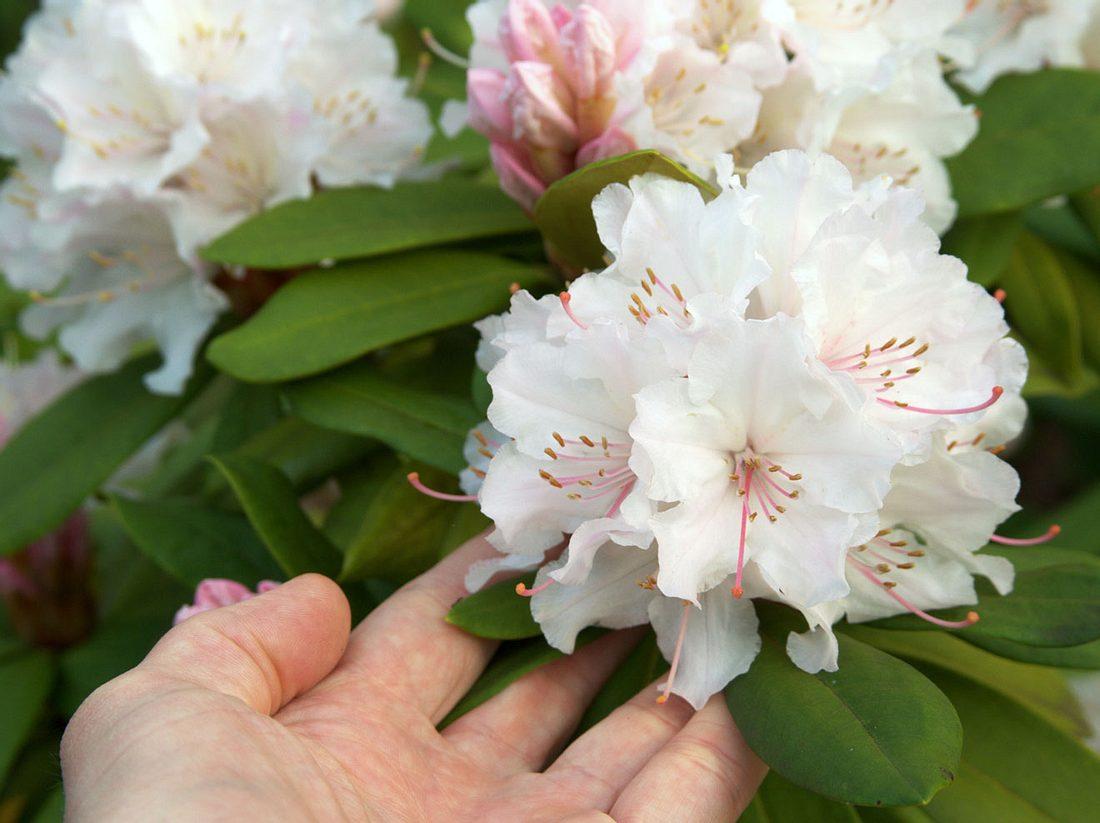 Rhododendron: So pflegen Sie ihn richtig