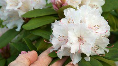 Rhododendron: So pflegen Sie ihn richtig - Foto: dan_alto / iStock