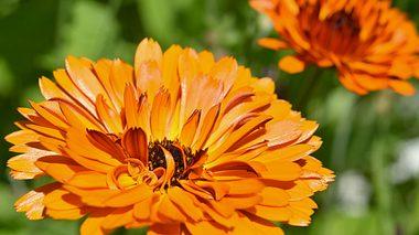 Ringelblumen im Garten halten Schädlinge fern. - Foto: fotomarekka / iStock