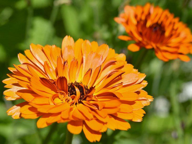 Ringelblumen im Garten halten Schädlinge fern.