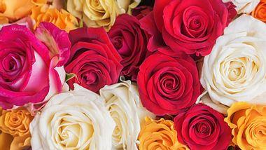 Welche Rosenfarbe hat welche Bedeutung? - Foto: iStock