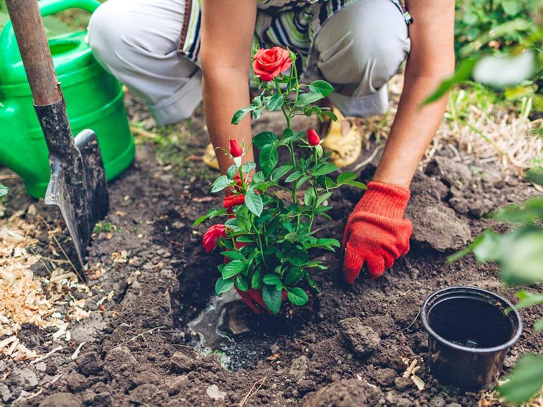 Worauf sollte ich beim Pflanzen von Rosen achten?