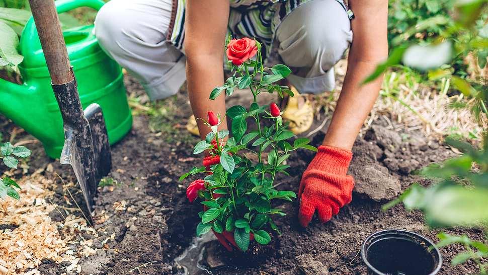 Rosen pflanzen: Die besten Tipps, damit sie prächtig wachsen