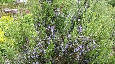 Rosmarin anpflanzen, pflegen und ernten