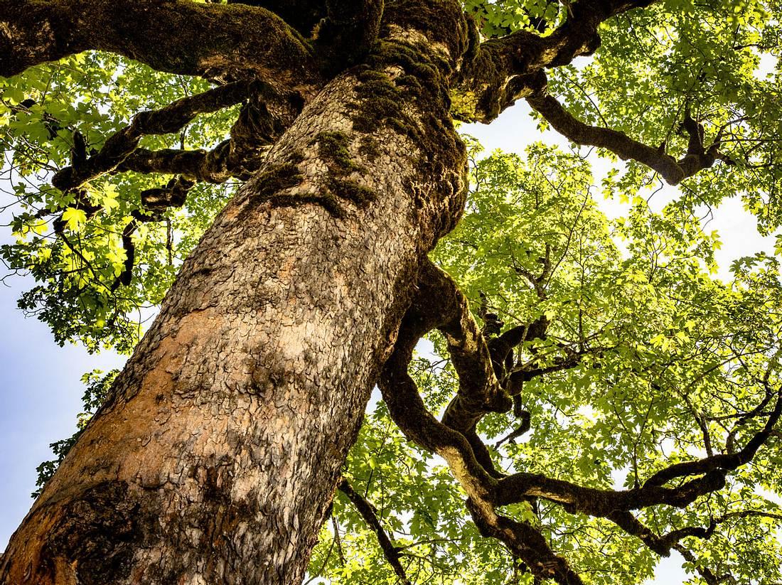 Ahornbäume können von der Rußrindenkrankheit befallen werden.