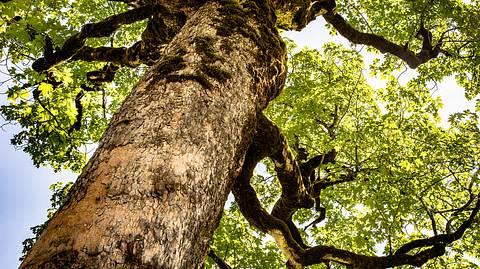 Ahornbäume können von der Rußrindenkrankheit befallen werden. - Foto: MCS-Photography / iStock