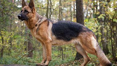 Schäferhund (Symbolbild). - Foto: Legolin / iStock