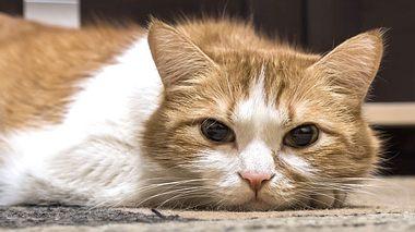 Schilddrüsenüberfunktion bei Katzen.