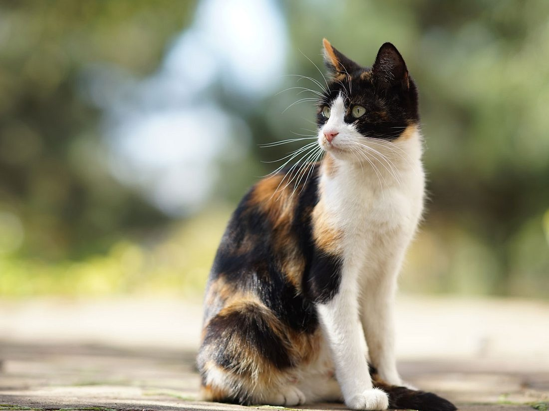 Schildplatt-Katzen können zickig werden.
