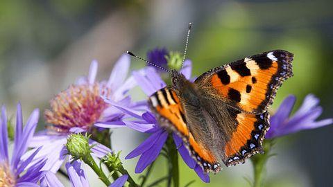 Ein Garten für Schmetterlinge - Foto: AYImages/ iStock