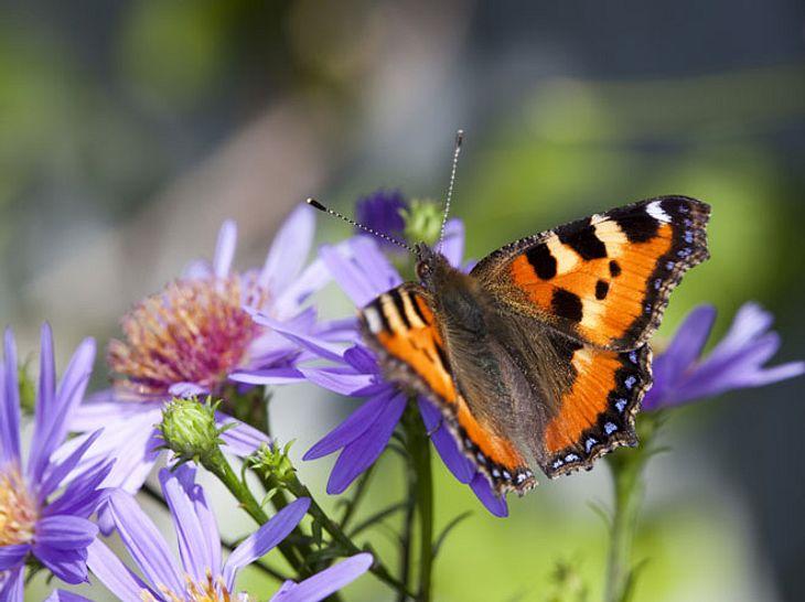 Ein Garten für Schmetterlinge